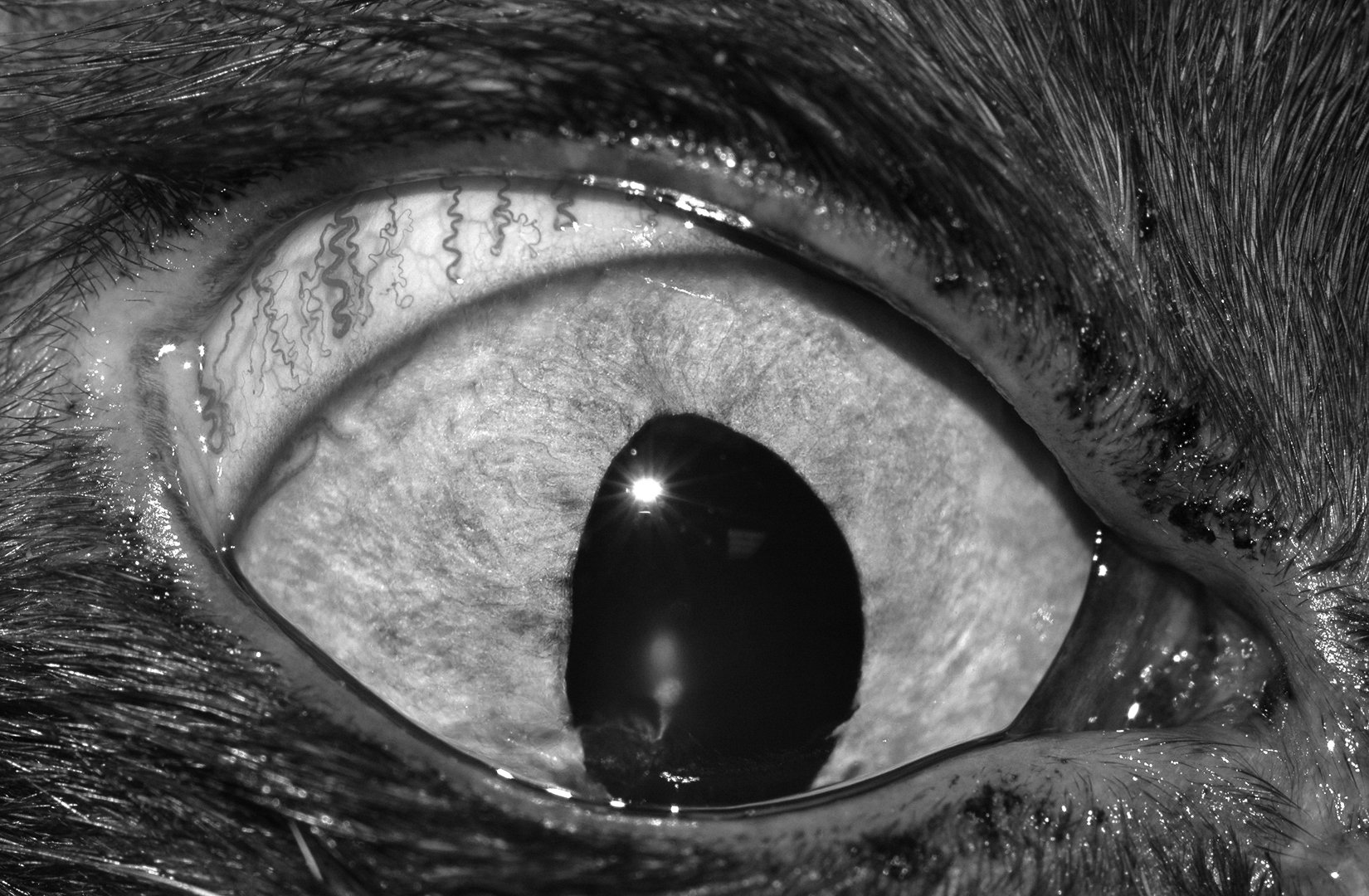 cat with glaucoma