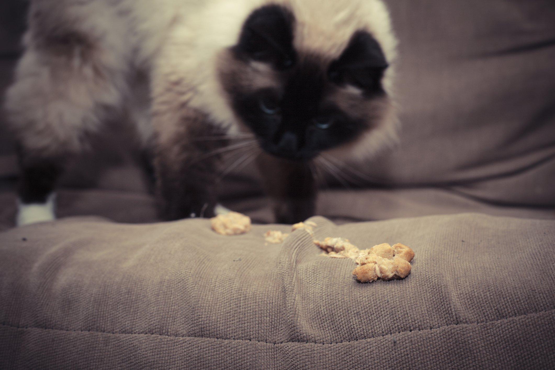 cat with ibd
