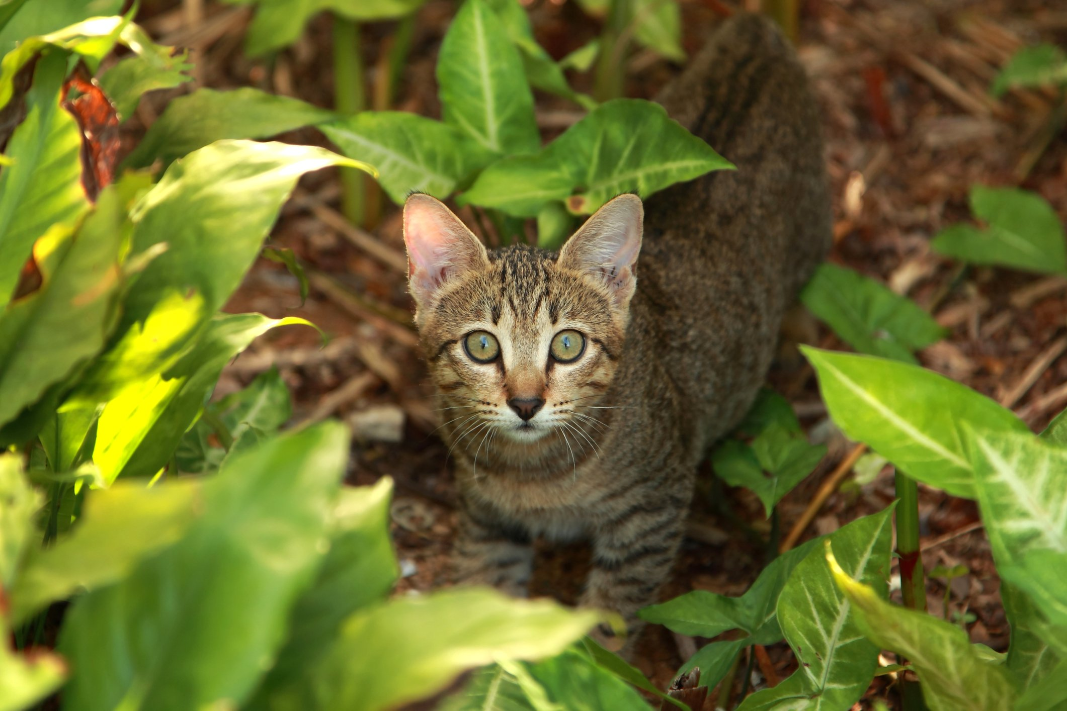 cytauxzoonosis in cats
