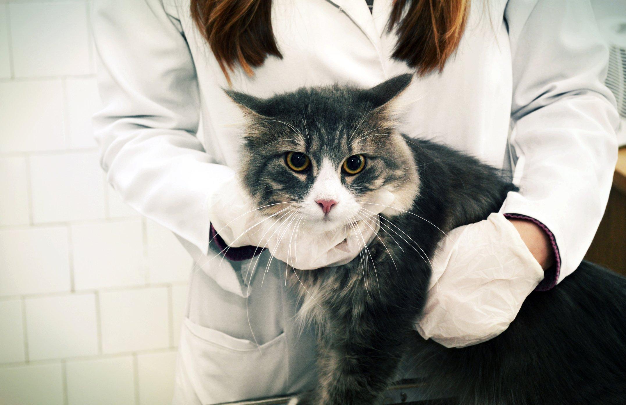 Understanding Ascites In Cats Tufts Catnip