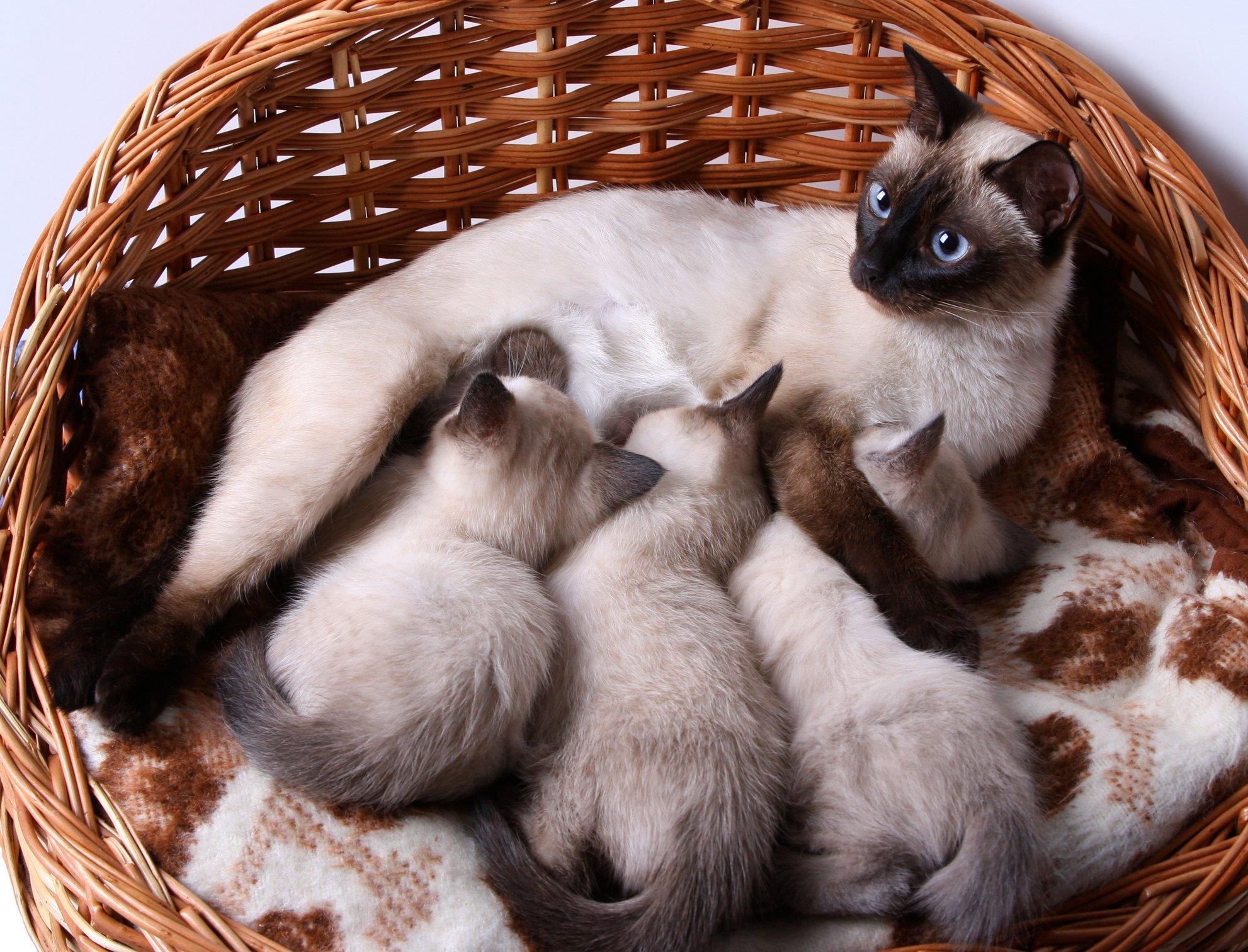 purebreed kittens