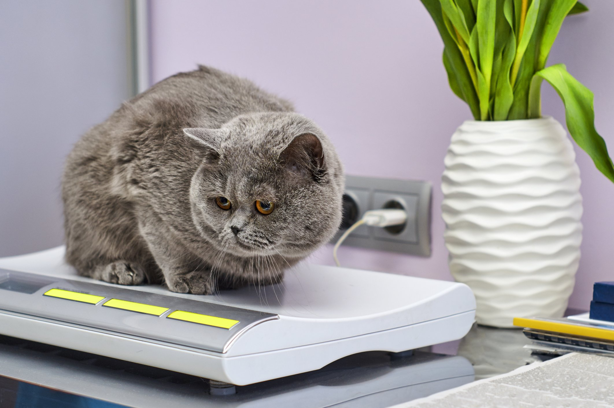 Cat weight loss