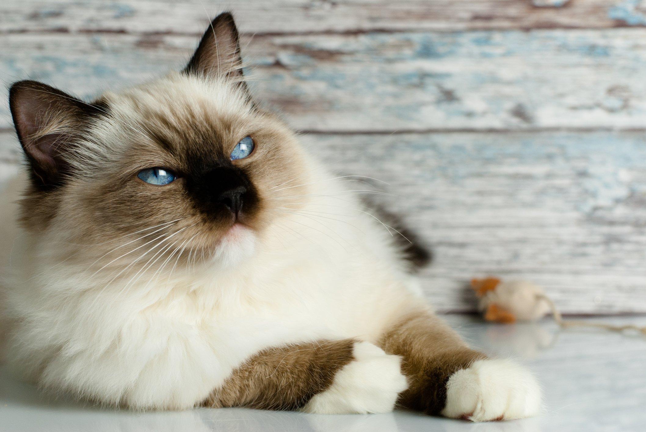 Cat Hypertrophic Cardiomyopathy