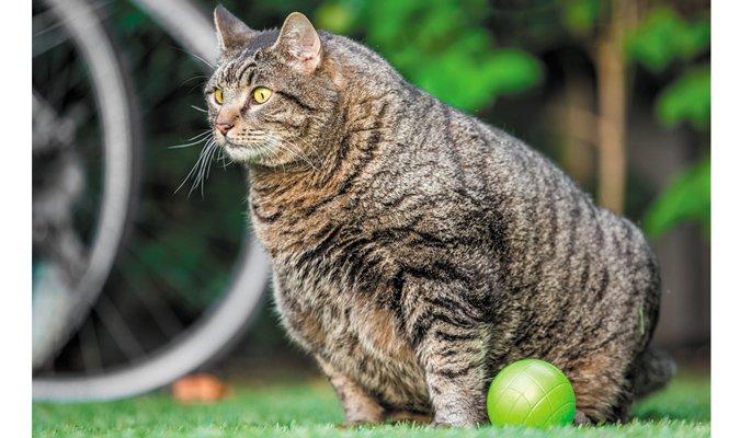 oveweight cat