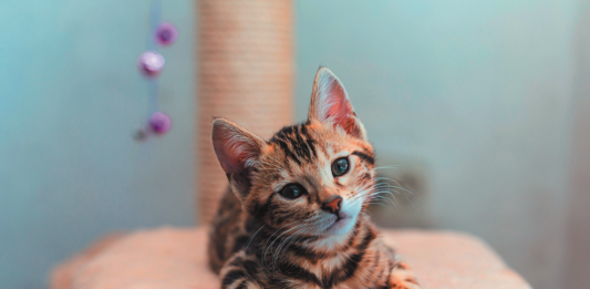 A cat is more than 95 percent tiger, genetically speaking.
