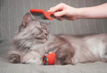 Long-haired cats are more prone to hairballs, but regular brushing can cut down on their frequency.