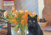 Anesthesia is safe for an old cat. But don't let him eat the lilies!