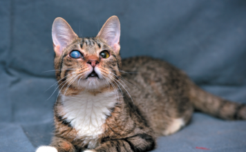 Even though it doesn't look right, it may not affect his vision. Take the cat in for a professional evaluation.