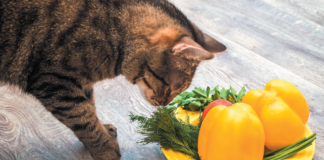 It is much more complicated for a cat to be a healthy vegan than a person.
