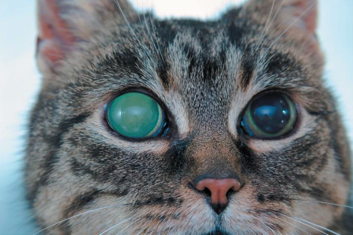 This cat has acute glaucoma.
