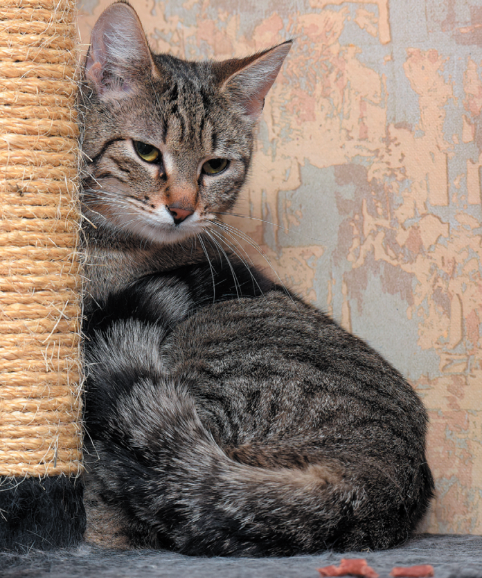 If a cat stops using his favorite scratching post, it may mean he's in pain.